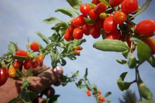 Goji Berry Faydaları Nelerdir? Şifa Kaynağı Kurt Üzümü Tarifi