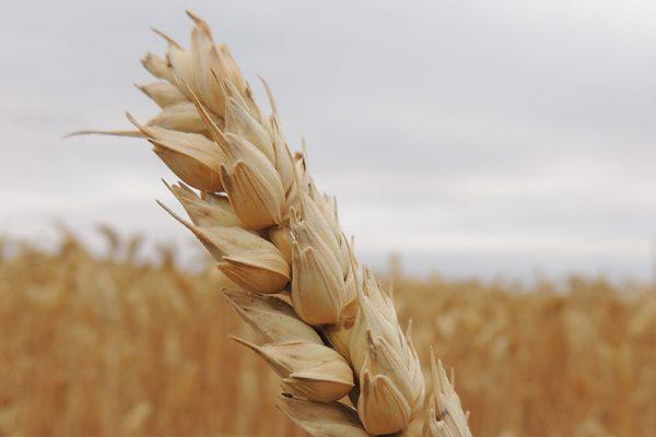 Siyez Buğdayı Nedir? Nerede Yetişir? Faydaları Nelerdir? Tarifi