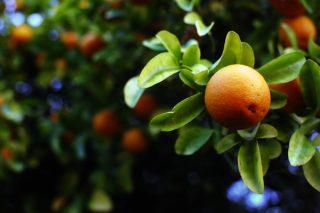 Turunç Meyvesinin Faydaları Nelerdir? Nasıl Kullanılır? Tarifi