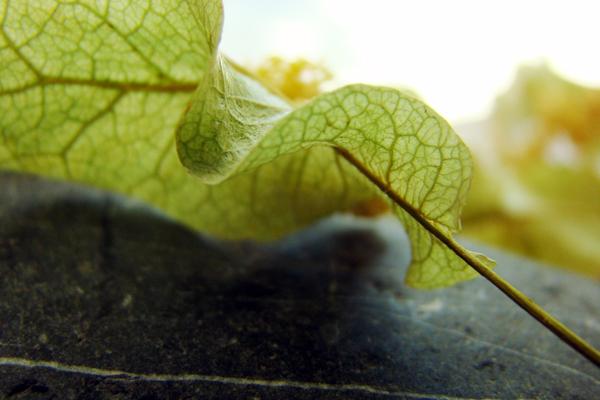 ıhlamur ağacı özellikleri