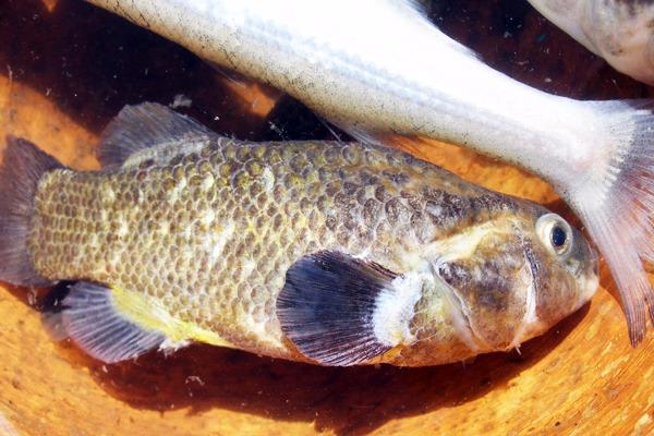 Eşkina Balığı