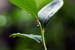 Defne Yaprağının Faydaları Nelerdir? Tarifi