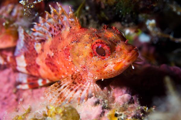 İskorpit Balığı Nedir? Faydaları Nelerdir? Tarifi