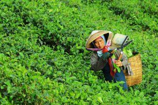 Çay Faydaları ve Zararları Nelerdir? Tarifi