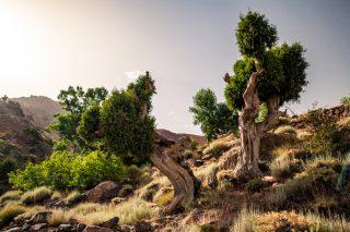 Ardıç Ağacı Özellikleri ve Faydaları Tarifi