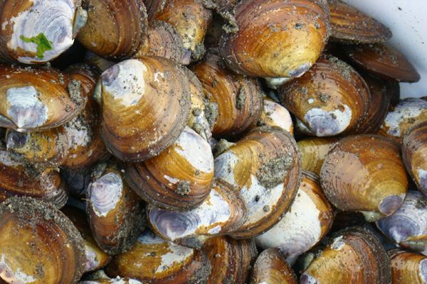 deniz tarağı fiyatları