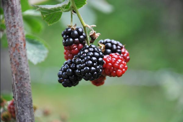 dut meyvesi faydaları