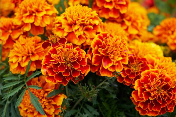 Kadife Çiçeği Tohumu Ne Zaman Ekilir? Tarifi