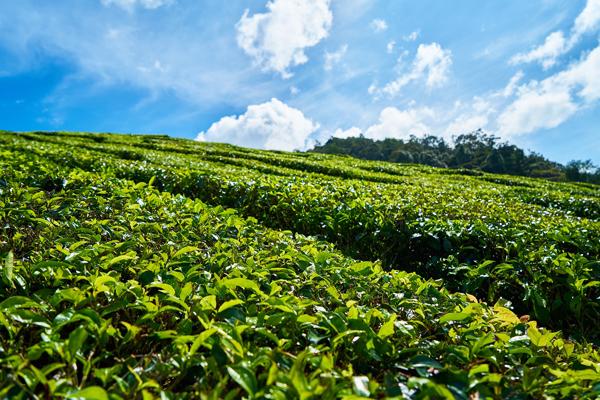 Çay Hakkında Çok Şaşırtıcı 20 İlginç Bilgi Tarifi