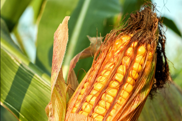 mısır püskülü faydaları
