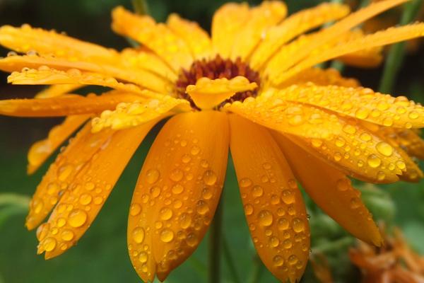 aynisefa bitkisi yagi kremi ve