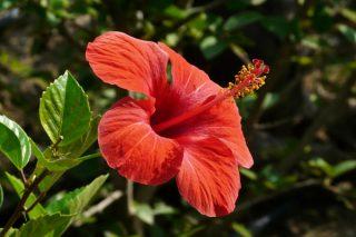 Hatmi Çiçeğinin Faydaları Nelerdir? Hatmi Çayı Neye İyi Gelir? Tarifi