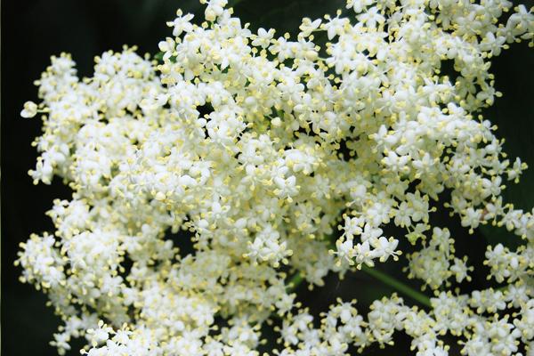 beyaz mürver çiçeği