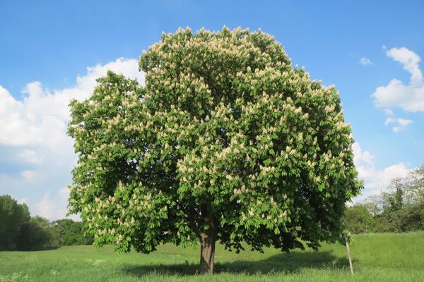 at kestanesi ağacı