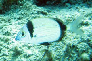Karagöz Balığı Nasıl Pişirilir? Nasıl Tutulur? Tarifi