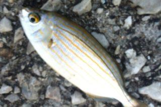 Sarpa Balığı Nasıl Pişirilir, Avlanır? Faydaları ve Besin Değerleri Tarifi