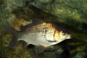 sazan balıkları