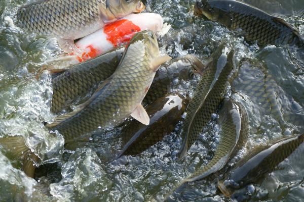 sazan balığı avı teknikleri
