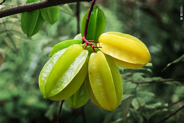 yıldız meyvesi ağacı