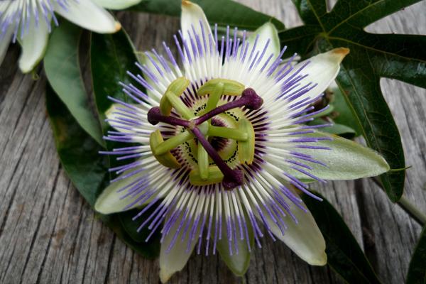 çarkıfelek çiçeği tohumu