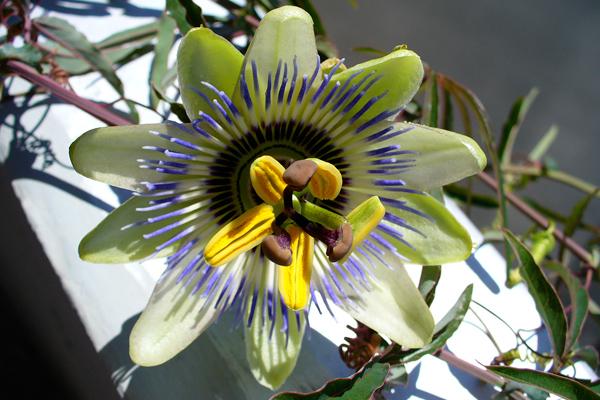 çarkıfelek çiçeği faydaları