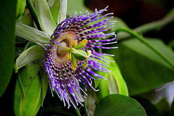 çarkıfelek çiçeği fidesi