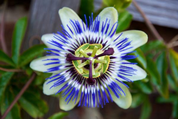 mavi çarkıfelek çiçeği