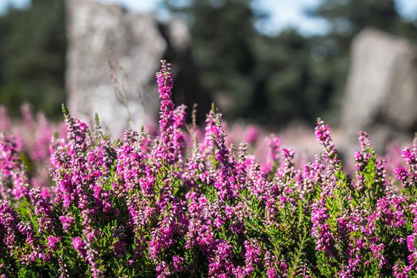 funda çiçeği