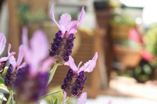 Karabaş Otu Çayı Zarif Renkli Çiçeğin Mucizevi Etkileri Tarifi