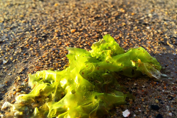 deniz marulu faydaları