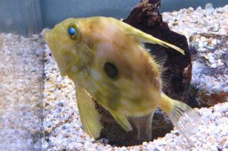 Dülger Balığı Nasıl Pişirilir? Nasıl Temizlenir? Tarifi
