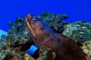 müren balığı