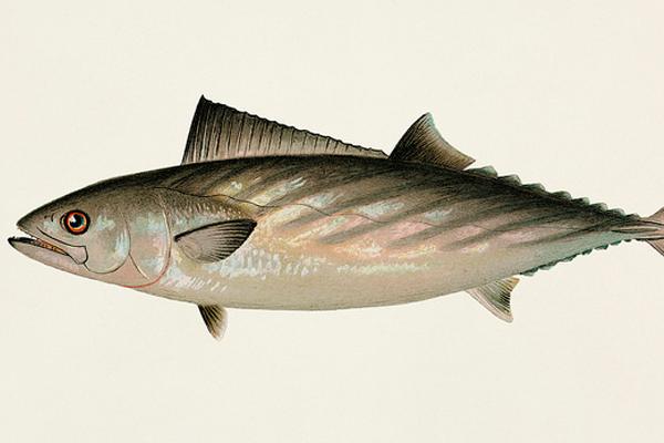 torik balığı