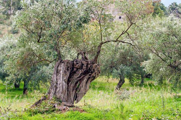 zeytin ağacı özellikleri