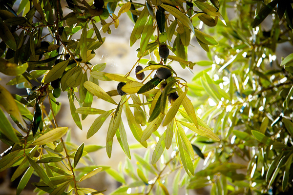 zeytin ağacı çeşitleri