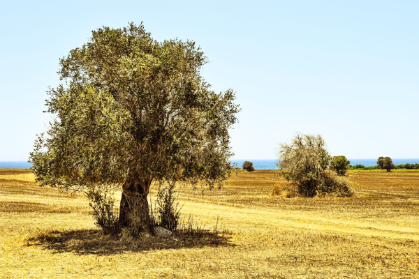 Zeytin Ağacı Bakımı, Budama Teknikleri, Özellikleri ve Çeşitleri Tarifi