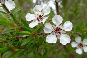 Çay Ağacı Yağı Nasıl Kullanılır? Ne İşe Yarar? Tarifi