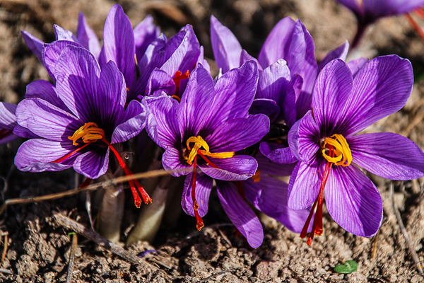 safran çiçeği