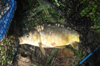 Aynalı Sazan Balığı Avı, Yetiştiriciliği ve Pişirme Teknikleri Tarifi