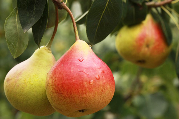 armut yemenin faydaları