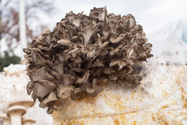 maitake mantarı