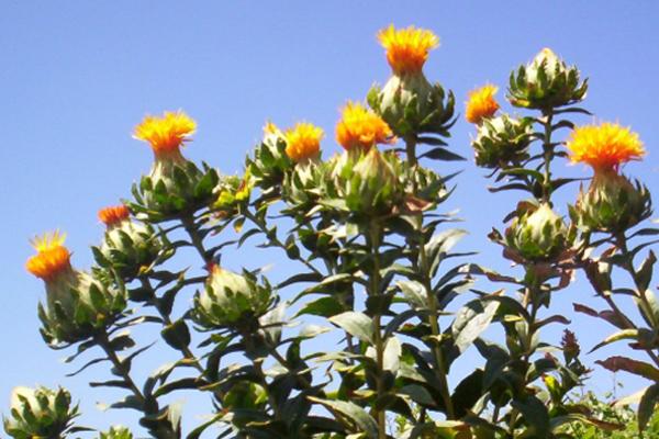 aspir yağı bitkisi