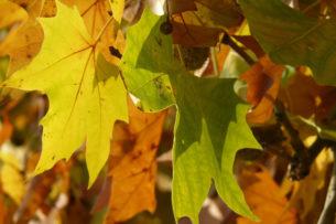 Çınar Yaprağı Faydaları ve Zararları, Çayı Tarifi, Nasıl İçilmelidir?