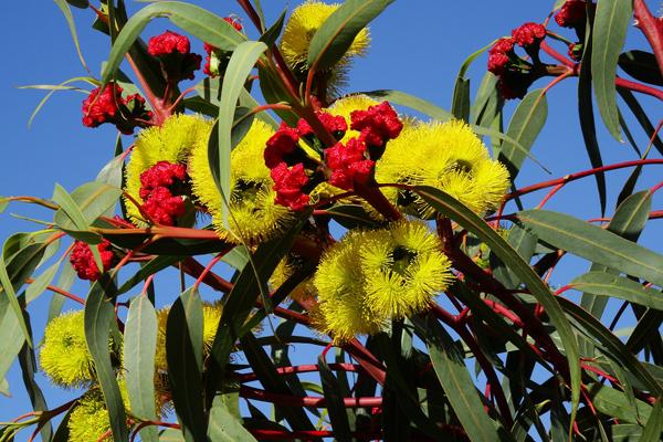 okaliptus çiçeği