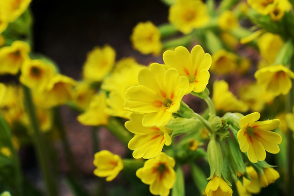 çuha çiçeği bakımı