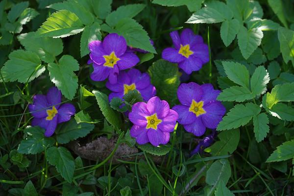çuha çiçeği yağı