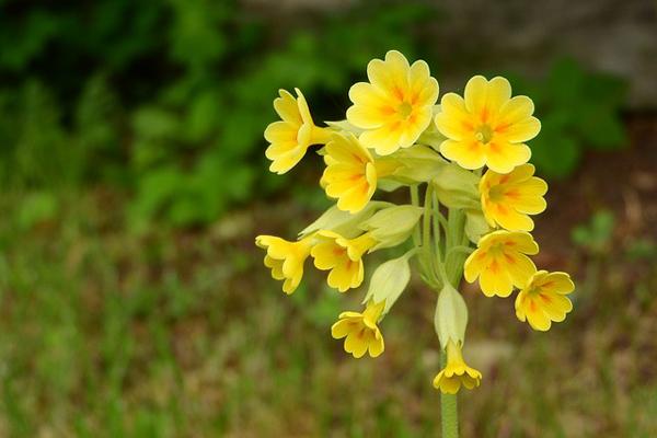 çuha çiçeği özellikleri