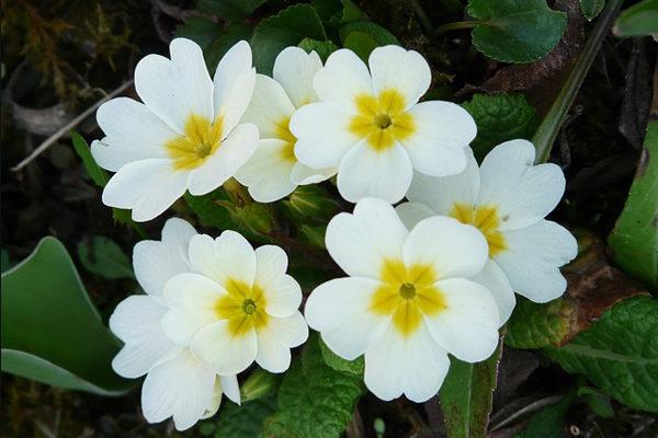 Çuha Çiçeği Bakımı, Faydaları, Yağı Nasıl Kullanılır? Çayı Neye İyi Gelir? Tarifi
