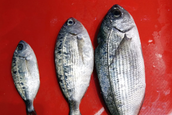 melanur balığı avı