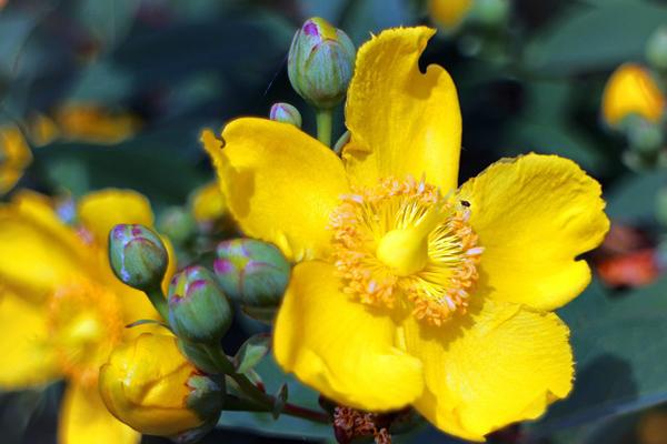 sarı kantaron yağı faydaları